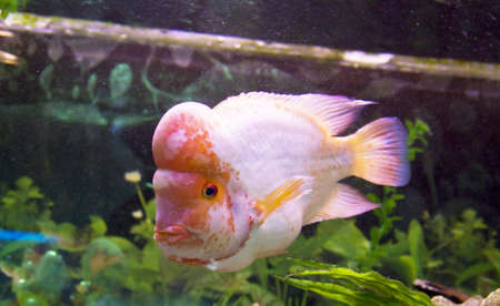 cichlasoma: Tropical fish Lemon Cichlid (latin names  Cichlasoma citrinellum, Amphilophus citrinellus, Herichthys citrinellus, cichlasoma bassilare, Chichlasoma granadeense), lives in rivers and lakes of Central America.