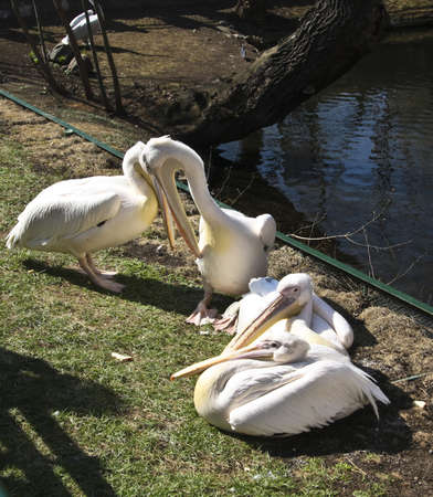 pelicans siting on shore near pond. Recorded in Moscow zoo. Stock Photo - 17239282
