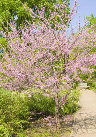 redbud: Tree Cercis Canadensis (Eastern Redbud) in blossom in spring with pink flowers.