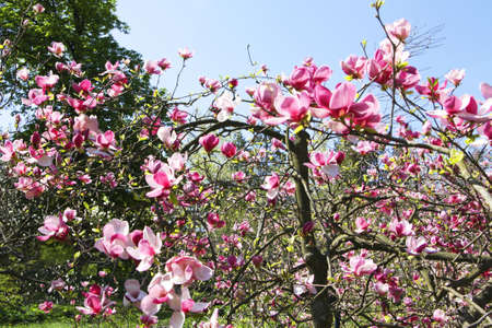 Branches of magnolia tree with pink flowers on blue sky. Stock Photo - 17244268
