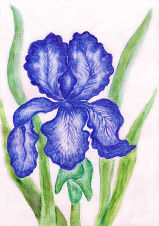 Iris of dark blue colour, hand painted picture, watercolours. photo