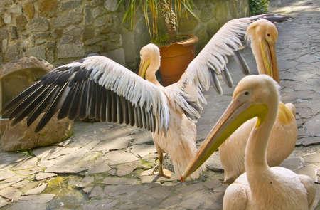 Three pink pelicans on stone yard  Stock Photo - 17474178