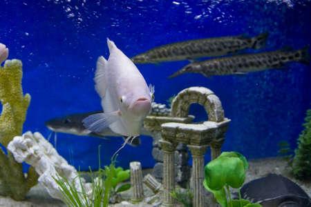 cichlidae: Tropical fish white cichlidae of lake Malawi, recorded in aquarium.