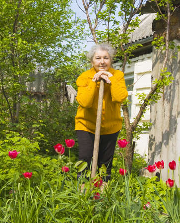Old lady, European, work in the garden, tulip flowers around. Фото со стока