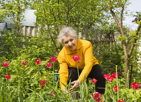 Old lady gardening near flowerbed with red tulips.