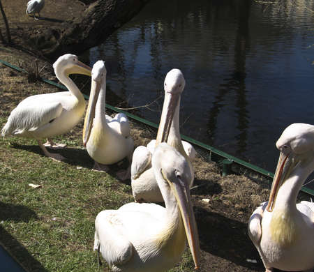pelicans siting on shore near pond. Recorded in Moscow zoo. Stock Photo - 17860142