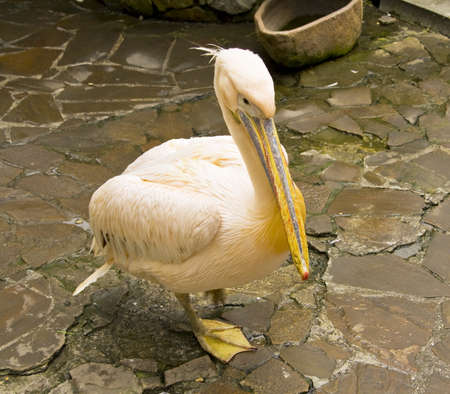 Pink pelican standing on ground, latin name Pelecanus onocrotalus Stock Photo - 17858695