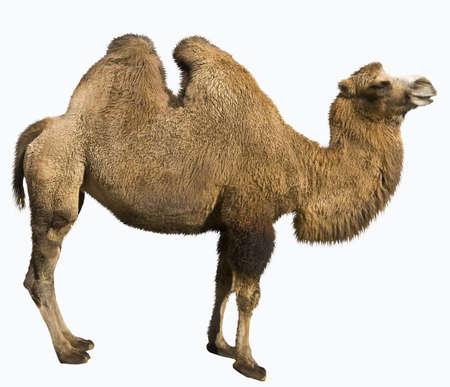 camello: Camello bactriano, de pie, aisladas sobre fondo blanco Foto de archivo