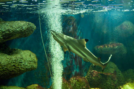 Fish Reef Shark, latin name Triaenodon obesus, in aquarium. Stock Photo - 18572323