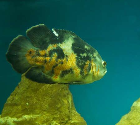 ocellatus: Tropical fish astronotus ocellatus