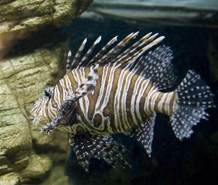 volitans: Tropical fish Fish-zebra, latin name Pterois volitans, in aquarium. Stock Photo