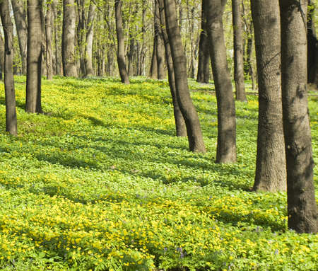 Spring landscape - park with trees and many yellow primroses flowers - yellowcups (buttercups).