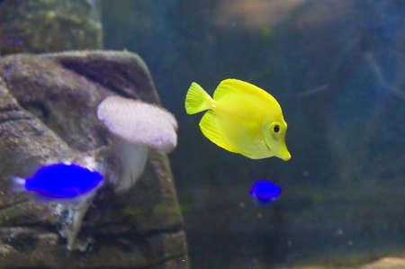 surgeon fish: Peces cirujano amarillo, Acanthuridae nombre en lat�n, otras Flavescens Zebrasome nombre, vive en el Oc�ano Pac�fico. Foto de archivo