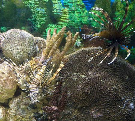 pterois volitans: Fish-zebra, latin name Pterois volitans.