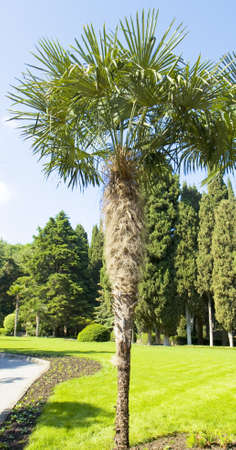 Fan-shaped Chinese palm, latin name Trachycarpus fortunei, behind cypress trees.