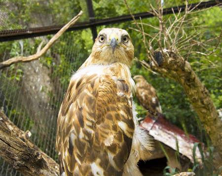aquila: Bird of prey Golden eagle, latin name Aquila Chrysaetos.