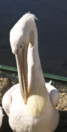 Pelican siting on shore near pond. Recorded in . Stock Photo - 21954880
