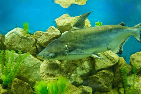 southeastern: Tropical fish Pangasius hypophthalmus, lives in South-Eastern Asia. Stock Photo