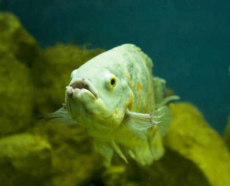 ocellatus: Tropical fish Astrnonotus ocellatus in aquarium.