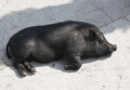 diminutive: Little black diminutive pig sleeping.