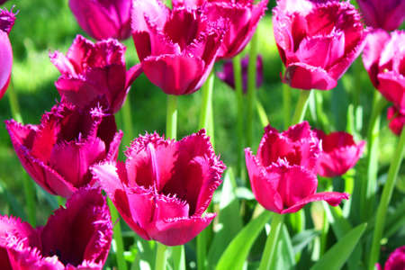 crimson colour: Flowerbed with many tulips of crimson (raspberry pink) colour.
