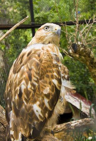 chrysaetos: Bird of prey Golden eagle, latin name Aquila Chrysaetos.