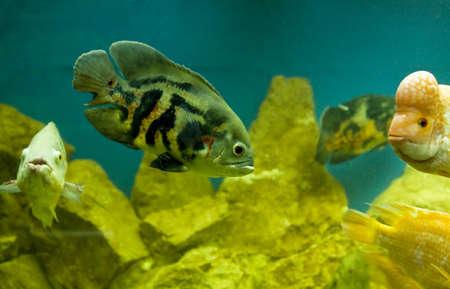astronotus: Fish Astronotus Ocellatus in aquarium. Stock Photo
