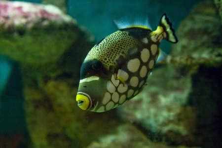 triggerfish: Tropical fish Clown triggerfish in aquarium, latin name Balistes conspicillum, lives in Indian ocean. Stock Photo