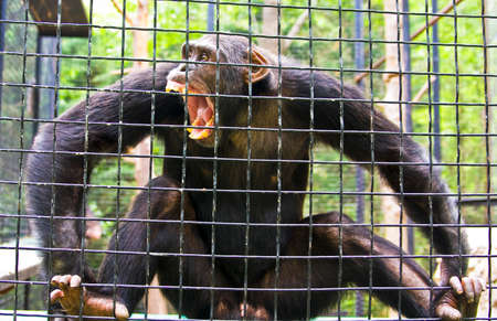 Big chimpanzee sitting in cage with opened mouth and aggressive face.