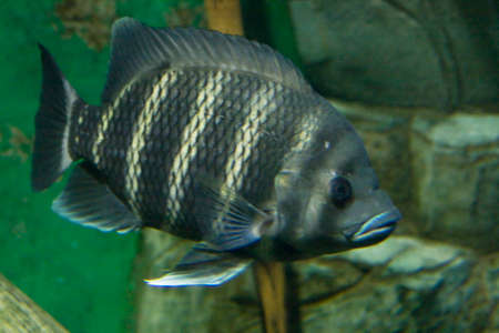 Tropical fish Tilapia buttuctikoferi, lives in rivers of Western Africa.