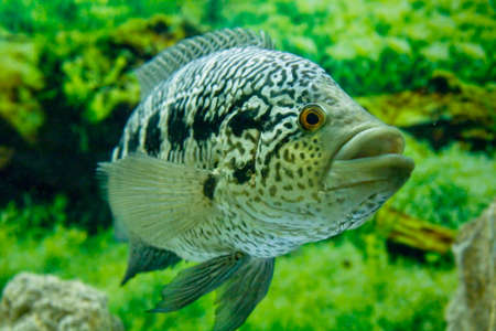 cichlidae: Tropical fish Cichlidae parachromis managuensis, lives in Latin America and Africa.