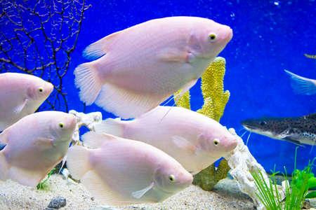cichlidae: Few tropical fishes White cichlidae of lake Malawi, recorded in aquarium.