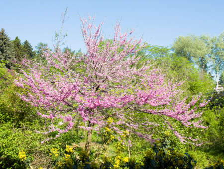 redbud: Spring landscape with tree Cercis canadensis (Eastern Redbud) in blossom in park.