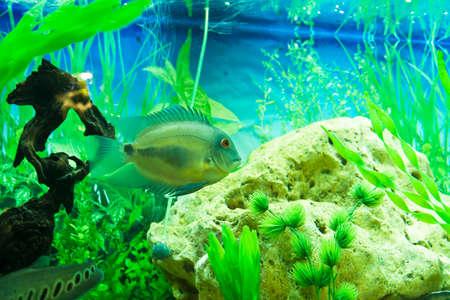 cichlidae: Tropical fish Uaru Amphiacanthoides cichlidae, lives in Latin America in river Amazon river, recorded in aquarium.