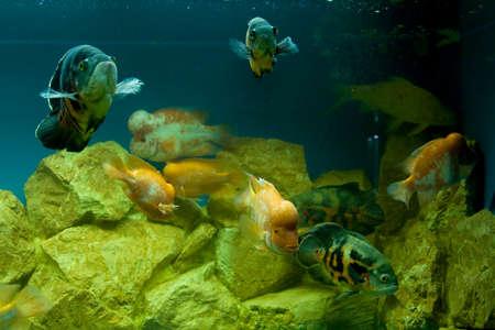 cichlasoma: Tropical fishes Cichlasoma citrinellum and Astronotus ocellatus in aquarium.