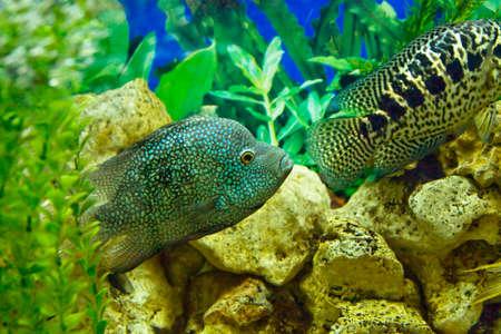 cichlidae: Tropical fishes Diamon cichlasoma, other name Perl cichlasoma and cichlidae Parachromis managuensis.