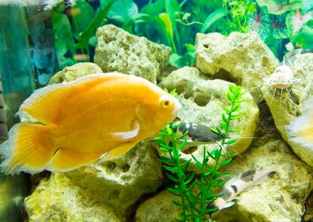 cichlasoma: Tropical fish Yyllow cichlasoma, recorded in aquarium