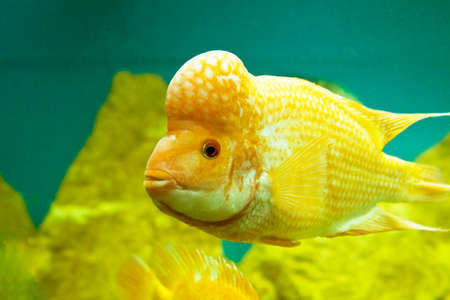 Tropical fish Lemon Cichlid (latin names  Cichlasoma citrinellum, Amphilophus citrinellus, Herichthys citrinellus, cichlasoma bassilare, Chichlasoma granadeense), lives in rivers and lakes of Central America. Stock Photo - 22426708