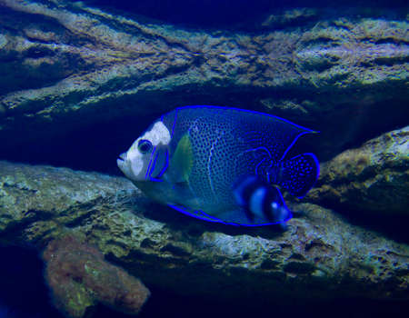 pomacanthus imperator: Tropical fish Fish-angel, or Fish-imperor, latin name Pomacanthus imperator, recorded in aquarium. Stock Photo