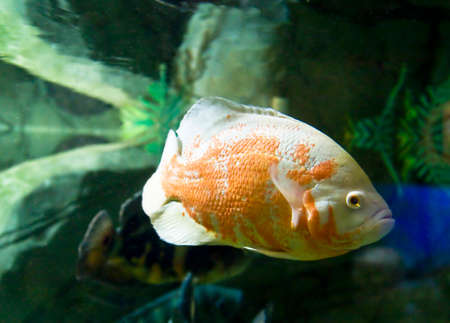Tropical fish Astrnonotus ocellatus in aquarium.