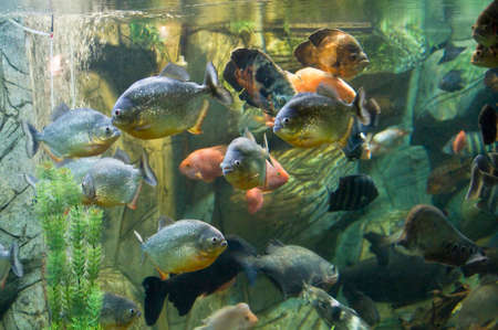 ocellatus: Tropical fishes in aquarium: few piranha in front, also fish-parrot (latin name Scaridae), Astronotus Ocellatus, knifefish (latin name Chitala), Tilapia buttuctikoferi Stock Photo