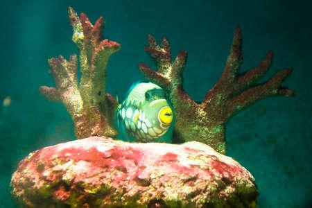 triggerfish: Tropical fish Clown Triggerfish, latin name Balistes conspicillum, lives in Indian ocean, and corals in aquarium.  Stock Photo