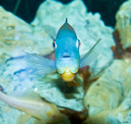 cichlidae: Tropical fish Cichlidae Auru Amphiacanthoides, lives in river Amazon in Latin America, recorded in aquarium.