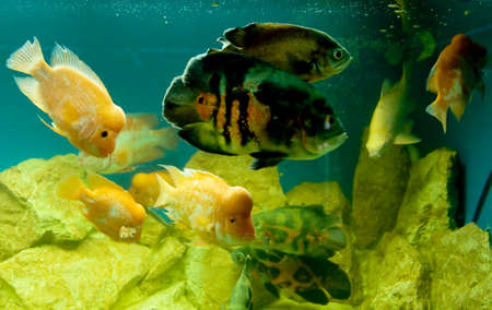 Tropical fishes in aquarium Cichlasoma citrinellum and Astronotus ocellatus. photo