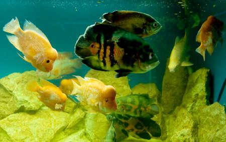 ocellatus: Tropical fishes in aquarium Cichlasoma citrinellum and Astronotus ocellatus.