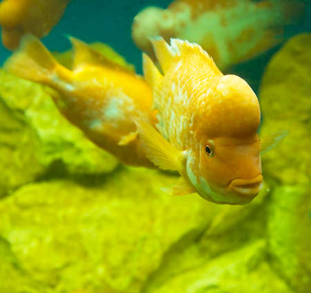 Tropical fish Lemon Cichlid (latin names  Cichlasoma citrinellum, Amphilophus citrinellus, Herichthys citrinellus, cichlasoma bassilare, Chichlasoma granadeense), lives in rivers and lakes of Central America.