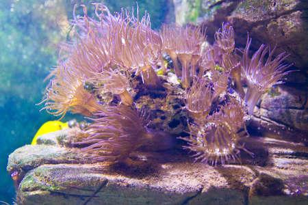 actinia: Actinia (an�monas de mar) en el acuario.