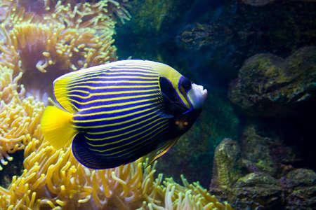 actinia: Peces tropicales pez �ngel (Fish-emperador), nombre latino Pomacanthus y Actinia (An�mona de mar).