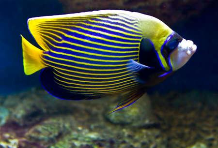 pomacanthus: Fish-emperor (fish-angel), latin name Pomacanthus imperator. Stock Photo