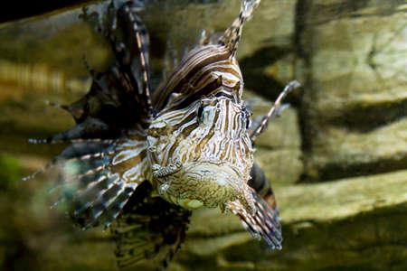 pterois volitans: Tropical fish fish-zebra, latinname Pterois Volitans, recorded in aquarium.